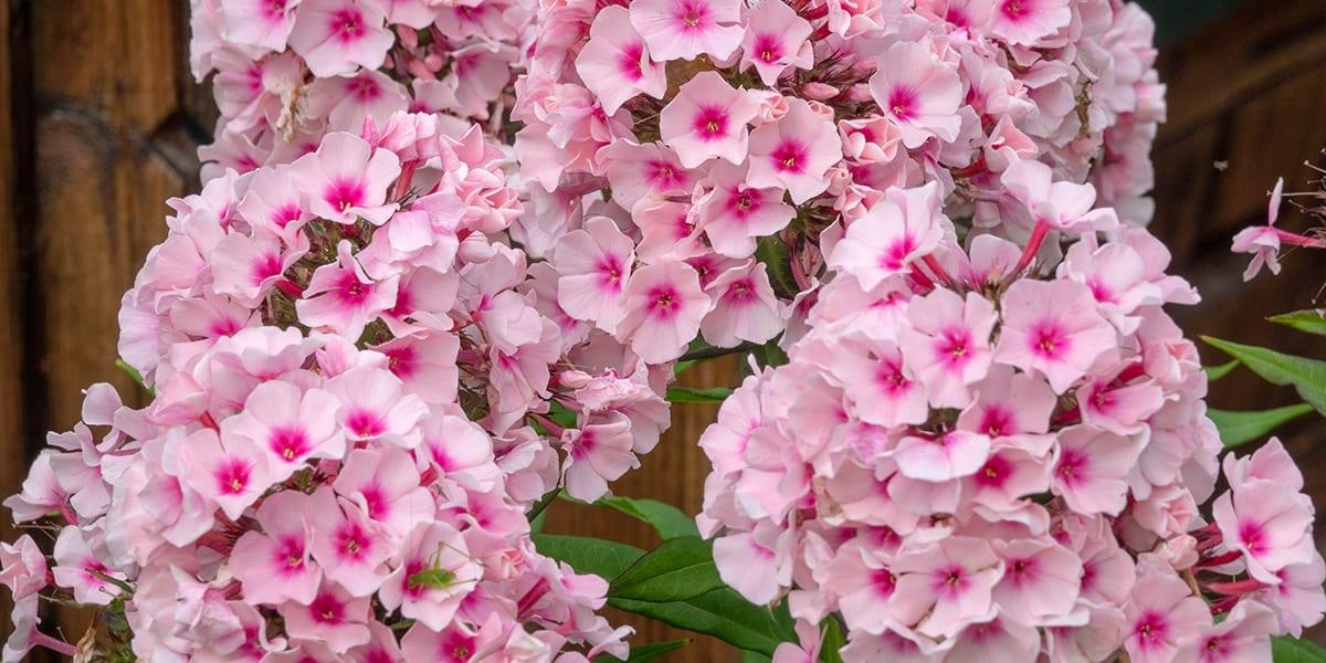 platt-hill-late-blooming-perennials-bright-eyes-phlox
