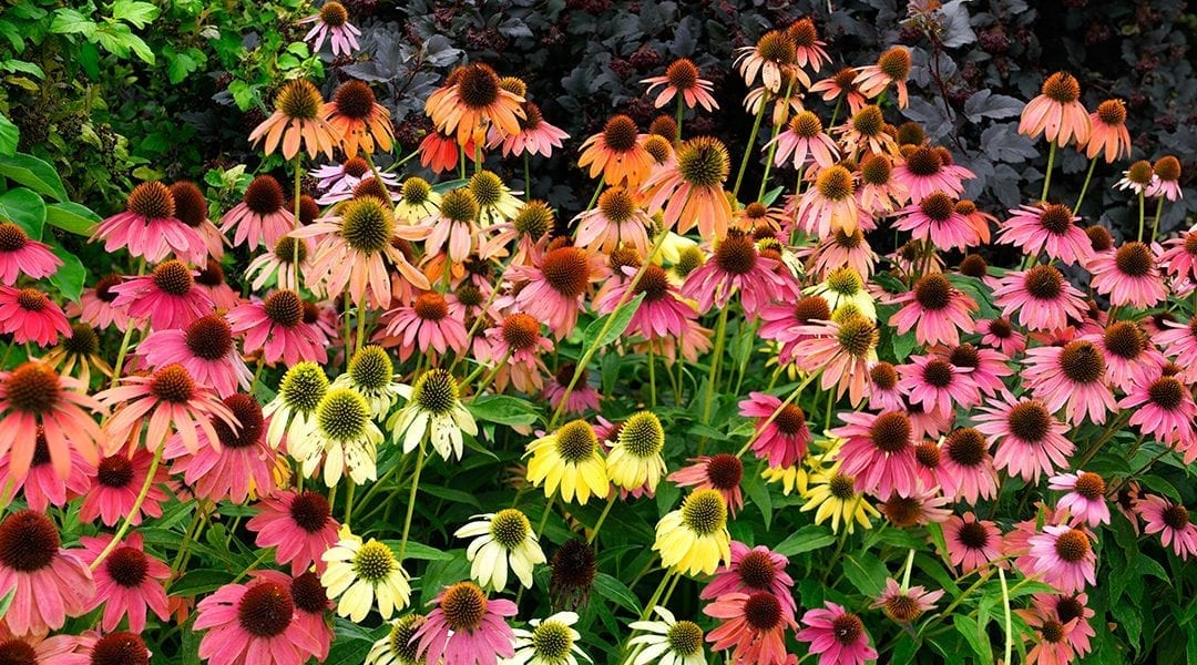 Top Late-Blooming Perennials