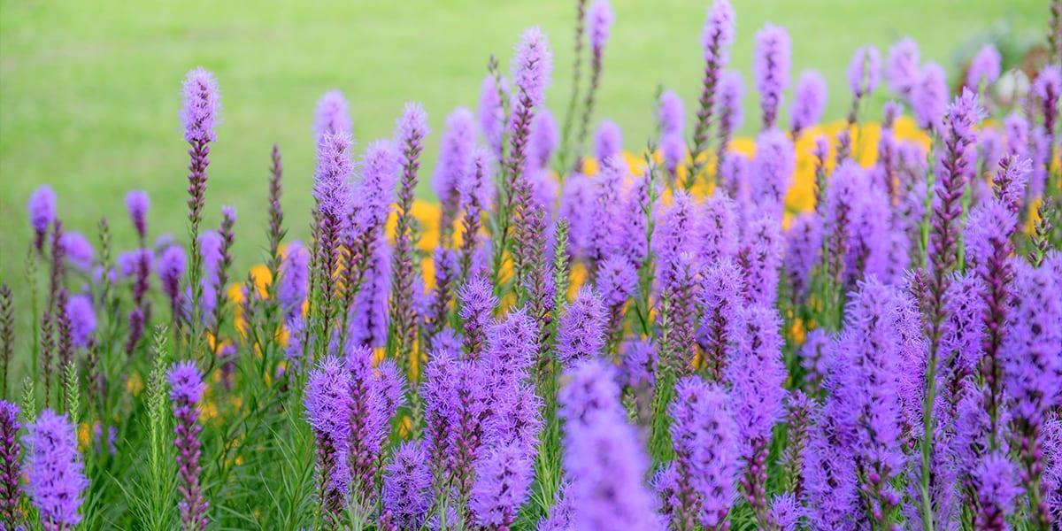 platt-hill-late-blooming-perennials-liatris