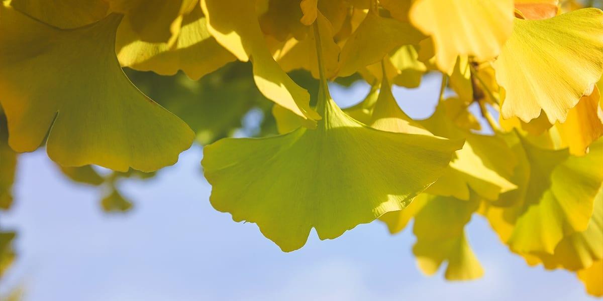 platt-hill-planting-fall-color-trees-gingko