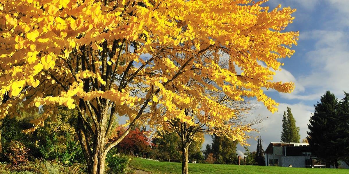 platt-hill-planting-fall-color-trees-katsura