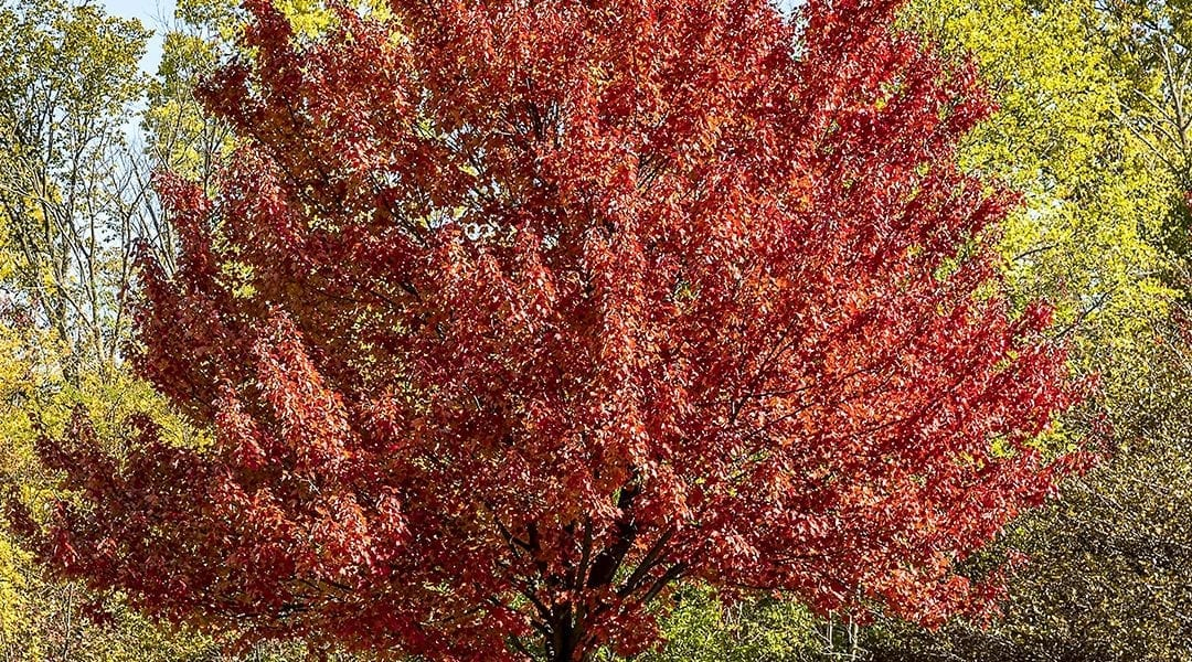 Planting Rich Fall Color: Trees