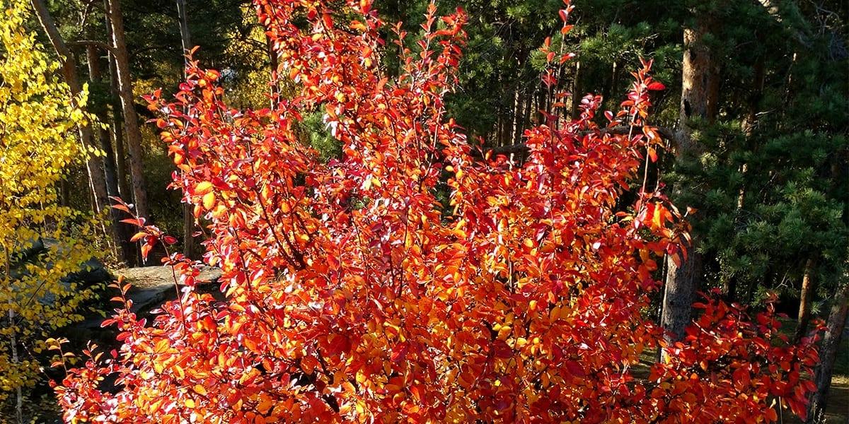 platt-hill-planting-fall-color-trees-serviceberry