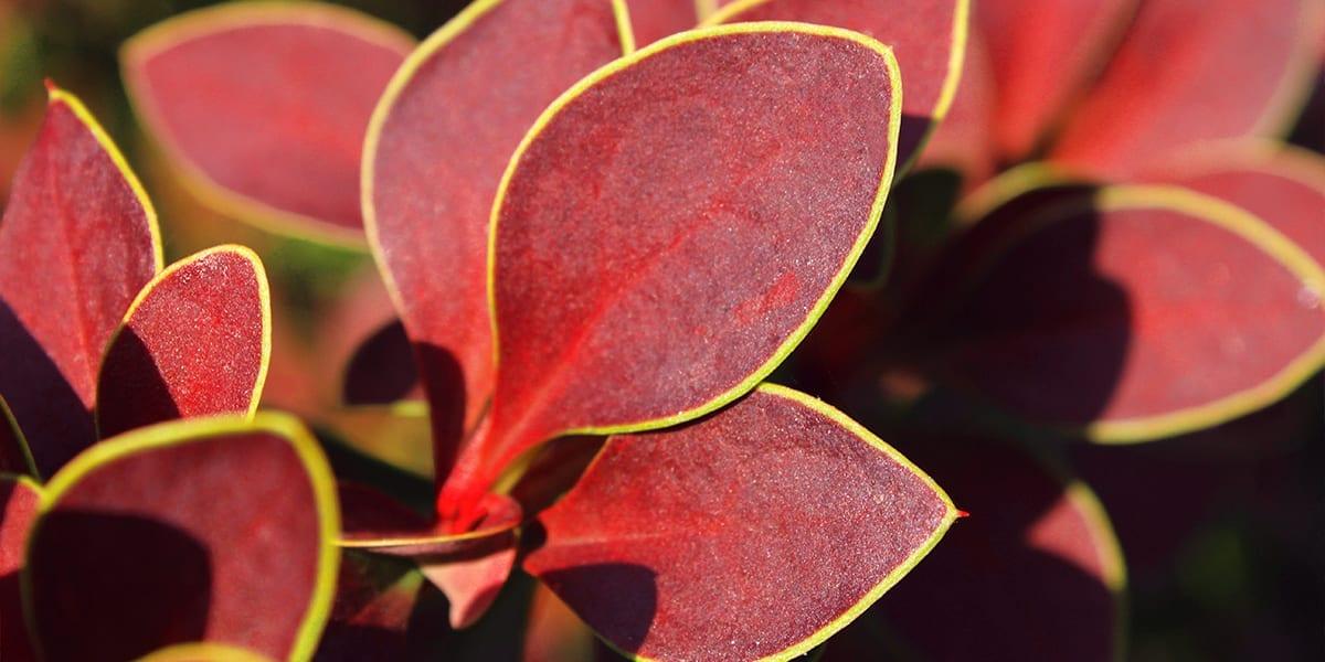 platt-hill-rich-fall-color-shrubs-barberry