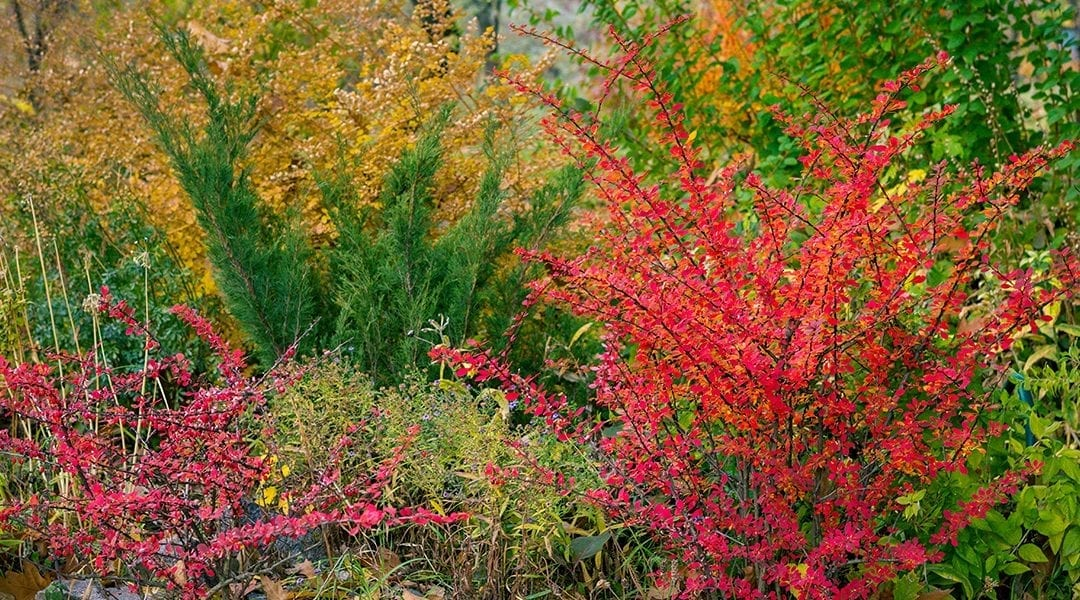 Planting Rich Fall Color: Shrubs