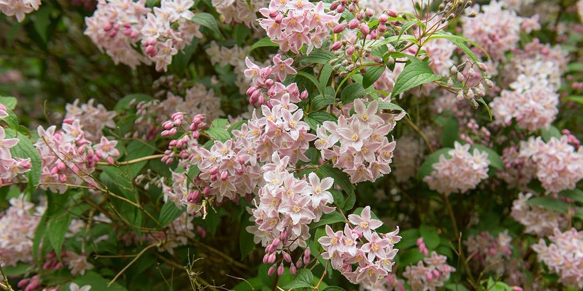 platt-hill-rich-fall-color-shrubs-yuki-cherry-blossom