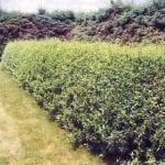 Cheyenne Common Privet - Fast Growing Trees & Shrubs