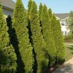 Emerald Green Arborvitae - Fast Growing Trees & Shrubs