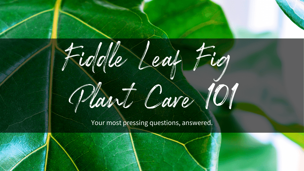 Fiddle Leaf Fig Plant Care 101