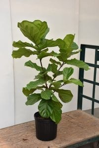 Fiddle Leaf Fig Plant Image