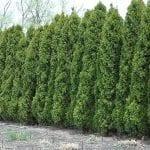 Hetz Wintergreen Arborvitae - Fast Growing Trees & Shrubs