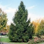 Norway Spruce Tree - Fast Growing Trees & Shrubs