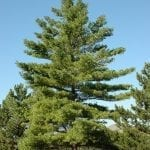 White Pine Tree - Fast Growing Trees and Shrubs
