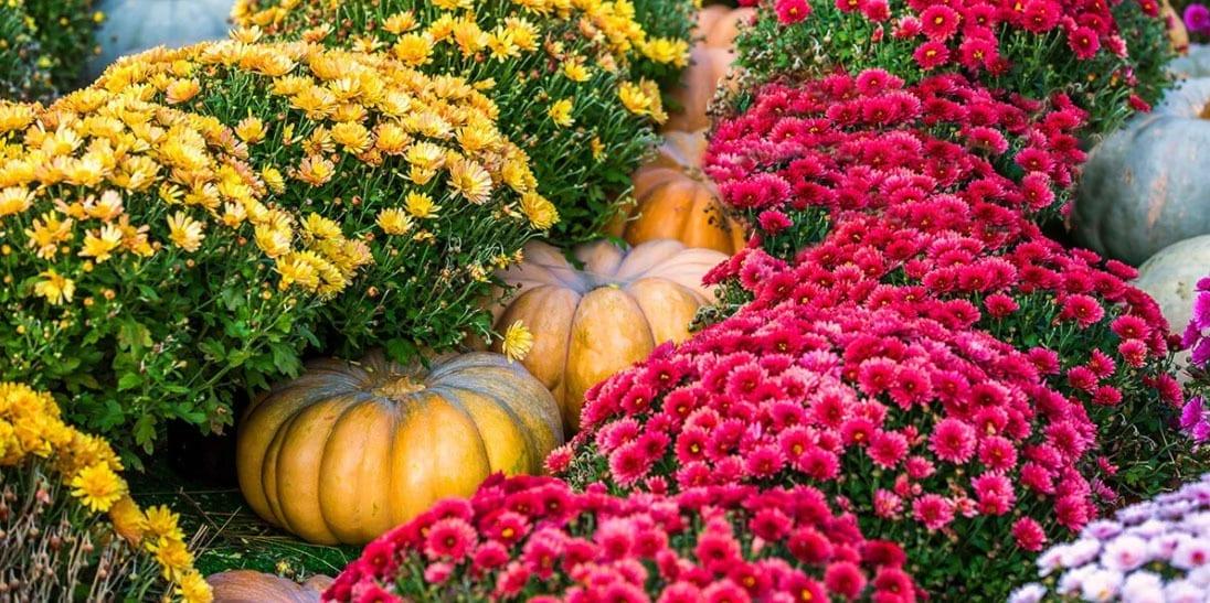 platt-hill-nursery-planting-chrysanthemums-and-pumpkins