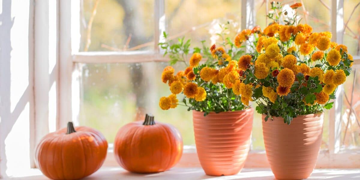 platt-hill-nursery-planting-chrysanthemums-pumpkins-windowsill