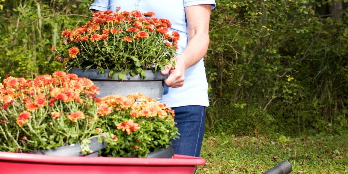 platt-hill-nursery-planting-women-planting-chrysanthemums