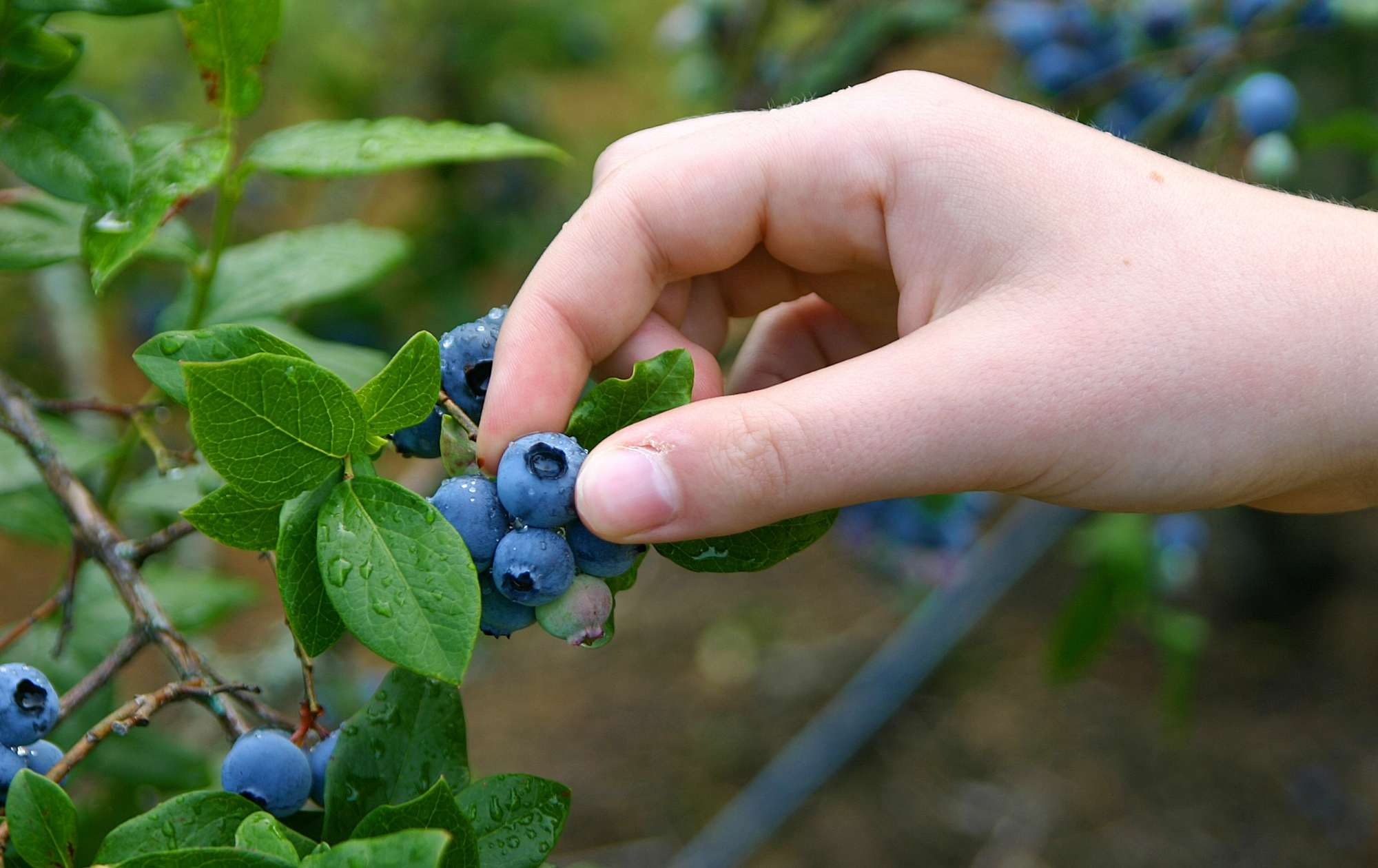 Photo of person harvesting blueberries
