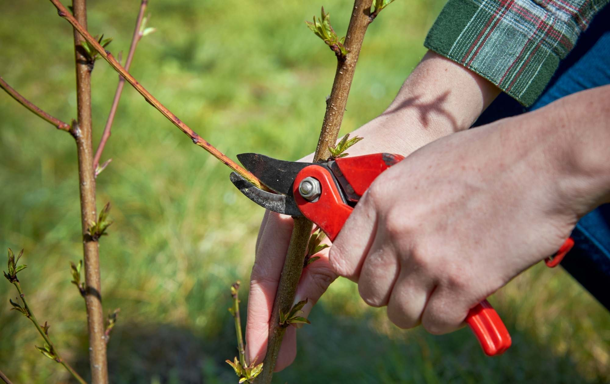 Person pruning blueberry bushes