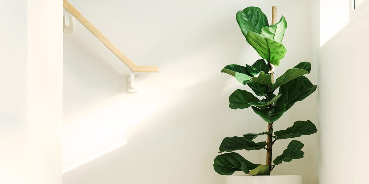 air-purifying-plants-fiddle-leaf-fig
