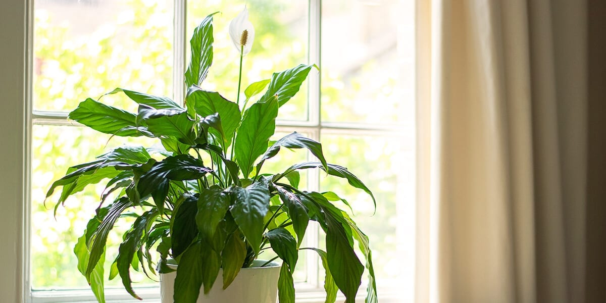 air-purifying-plants-peace-lily