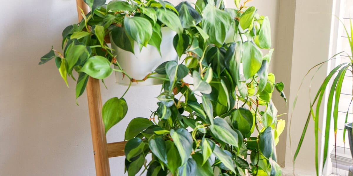 air-purifying-plants-philodendron-climbing-on-ladder