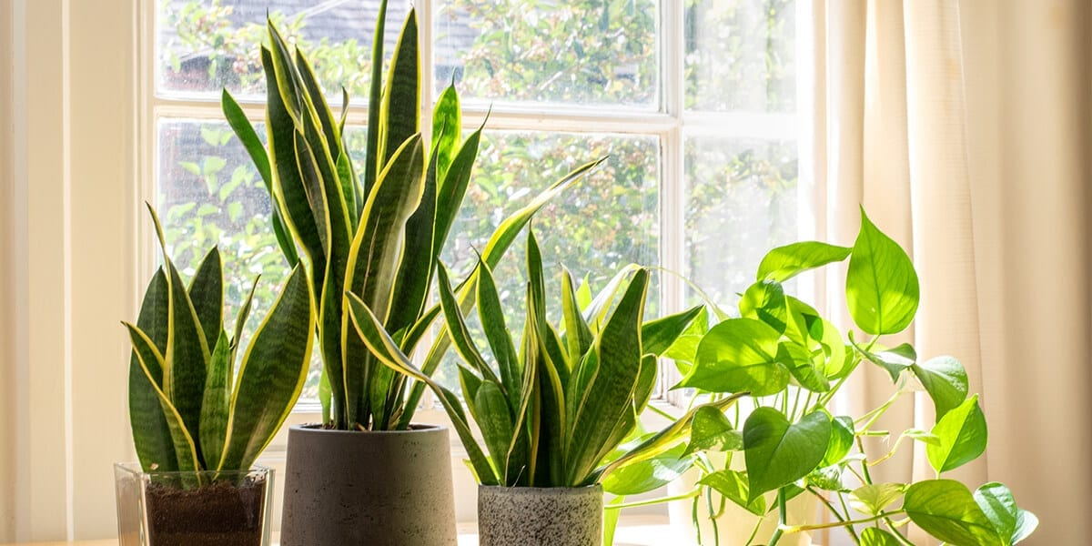 air-purifying-plants-snake-plants-pothos-on-windowsill