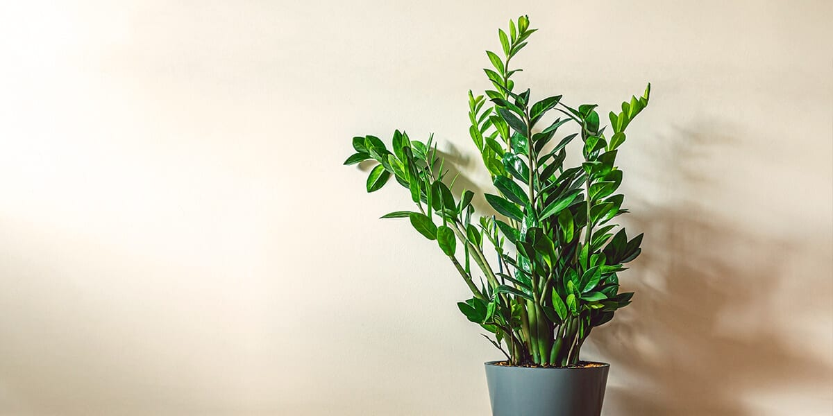 air-purifying-plants-zz-plant-in-grey-pot
