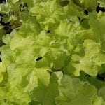 Photo of Citronelle Coral Bells