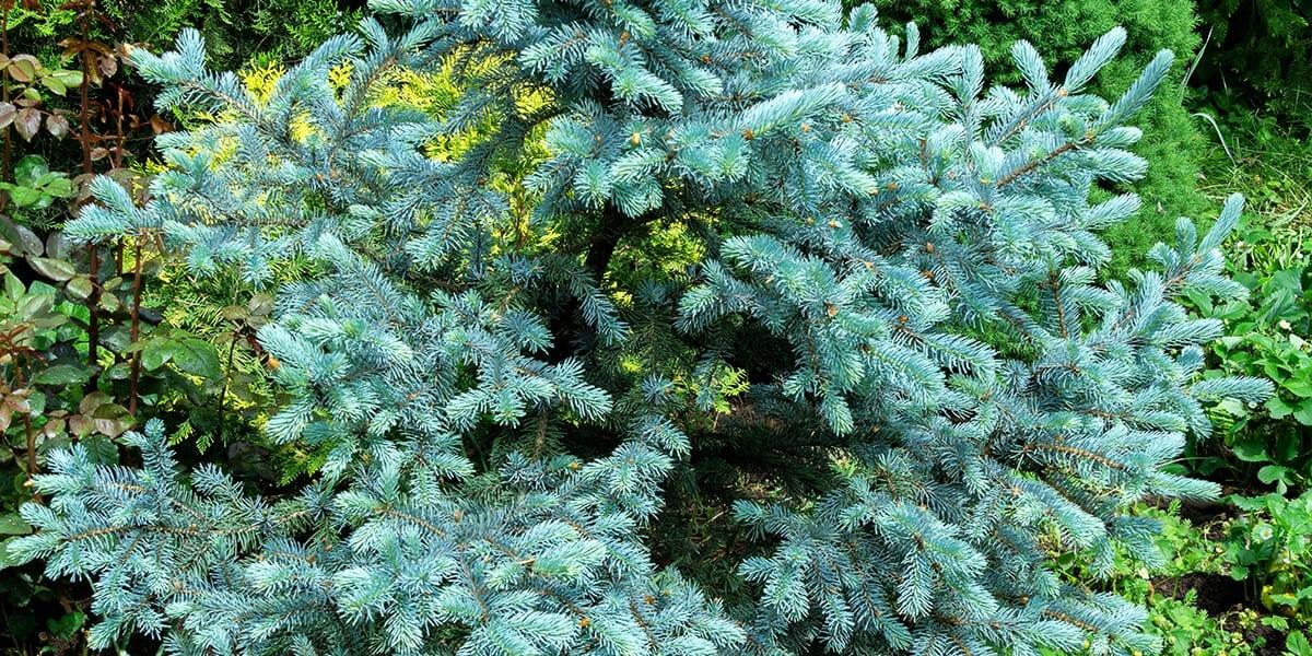platt-hill-plant-more-evergreens-arctos-spruce