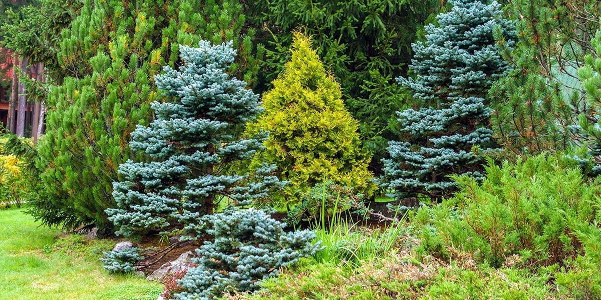 platt-hill-plant-more-evergreens-bright-evergreen-trees