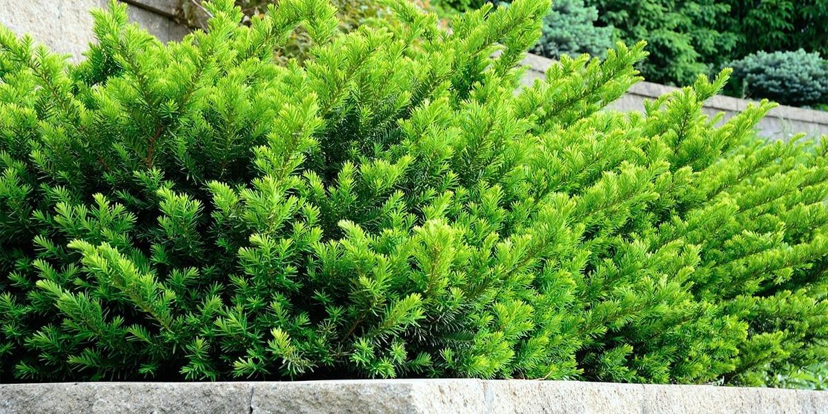 platt-hill-plant-more-evergreens-emerald-spreader-yew