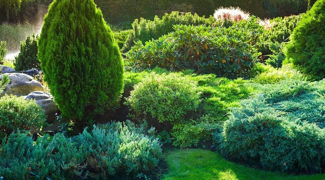 5 Reasons to Plant More Evergreens