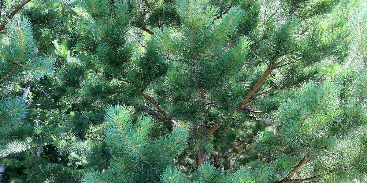 platt-hill-plant-more-evergreens-vanderwolf-pine