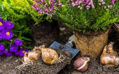 Now is the Time to Plant Spring-Flowering Bulbs!