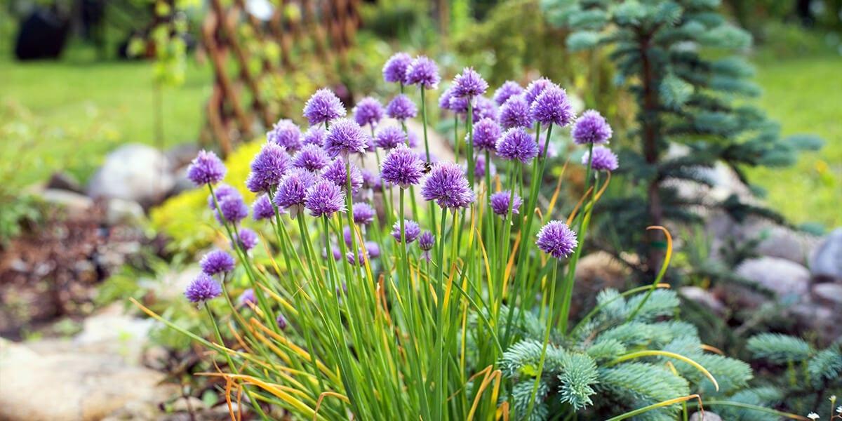 platt-hill-plant-spring-flowering-bulbs-purple-alliums