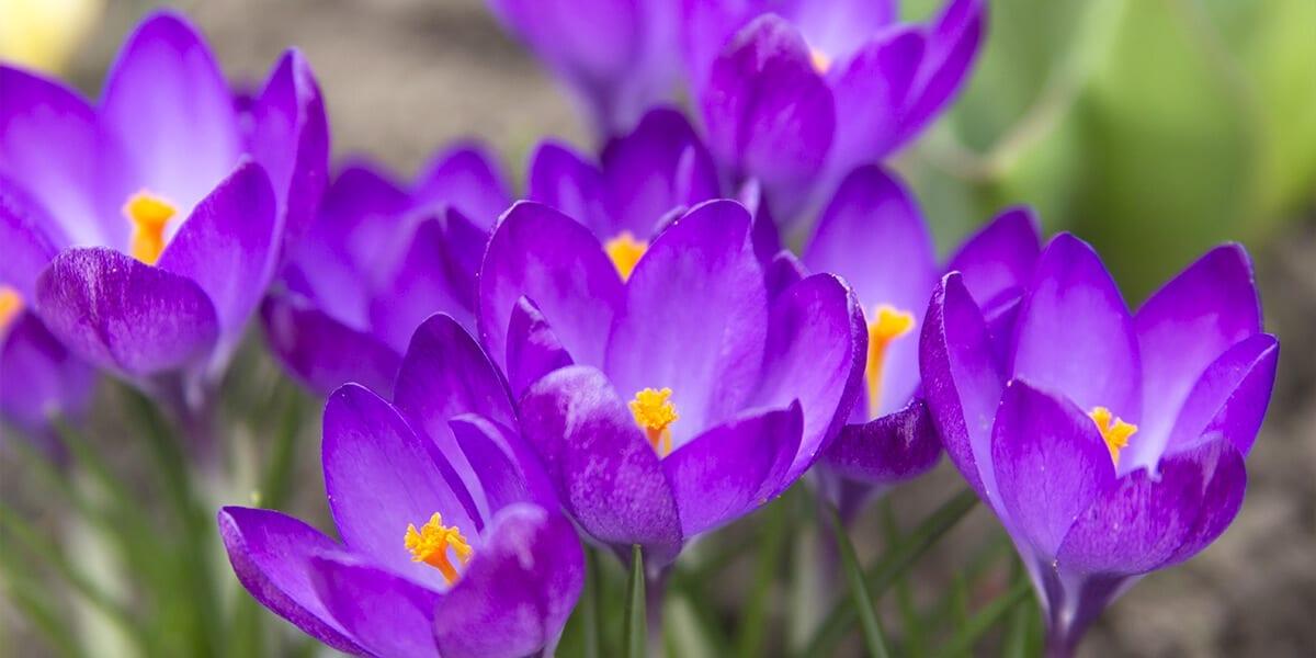 platt-hill-plant-spring-flowering-bulbs-purple-crocuses