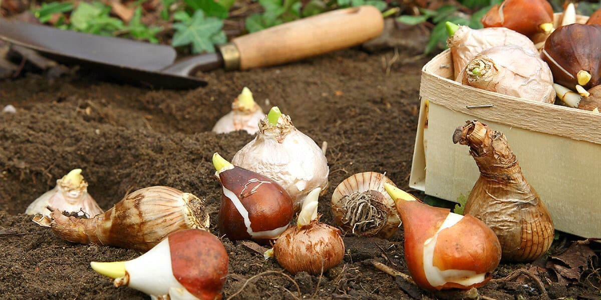 platt-hill-plant-spring-flowering-bulbs-with-scoop