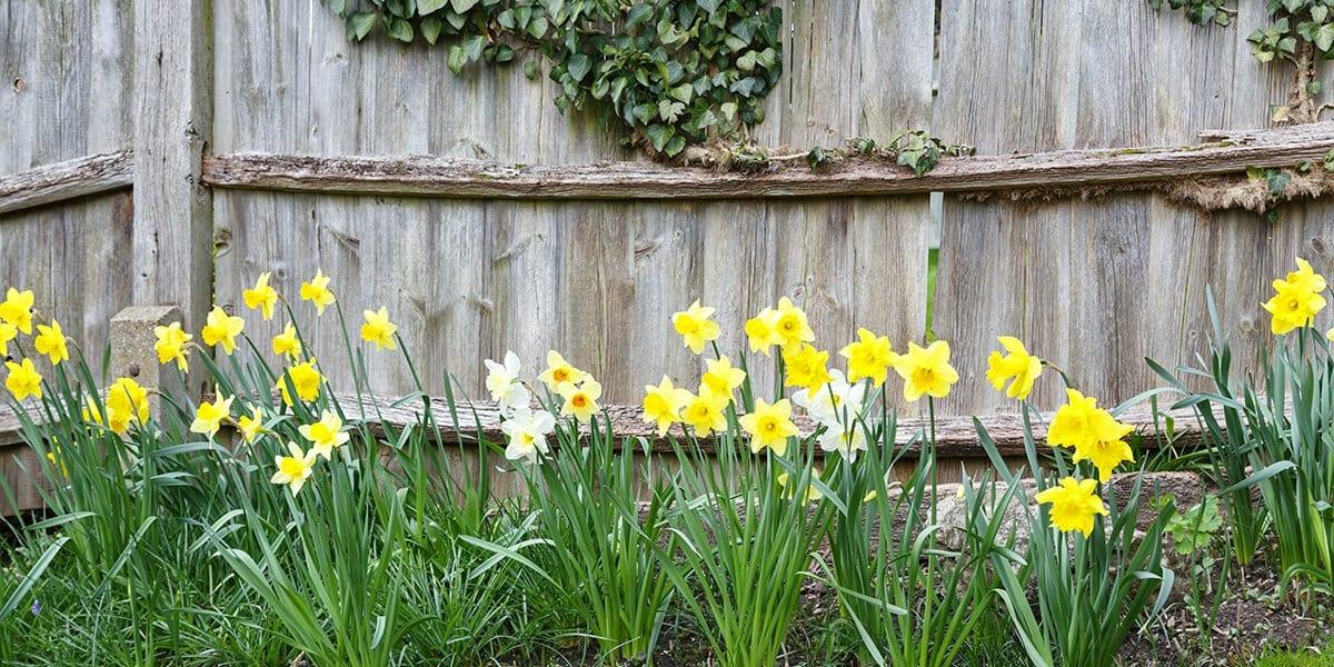 platt-hill-plant-spring-flowering-bulbs-yellow-and-white-daffodils