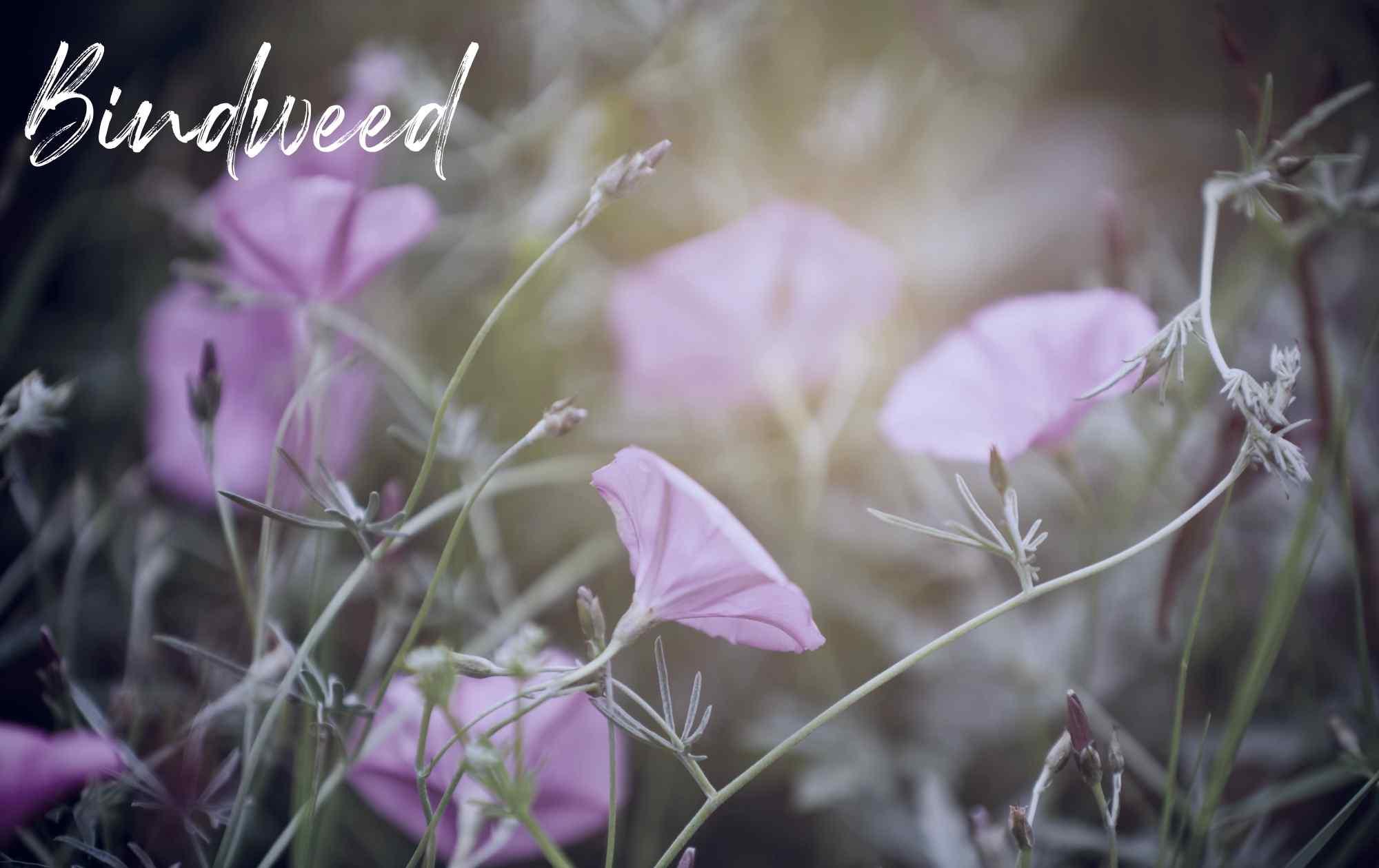 Bindweed landscape weed image