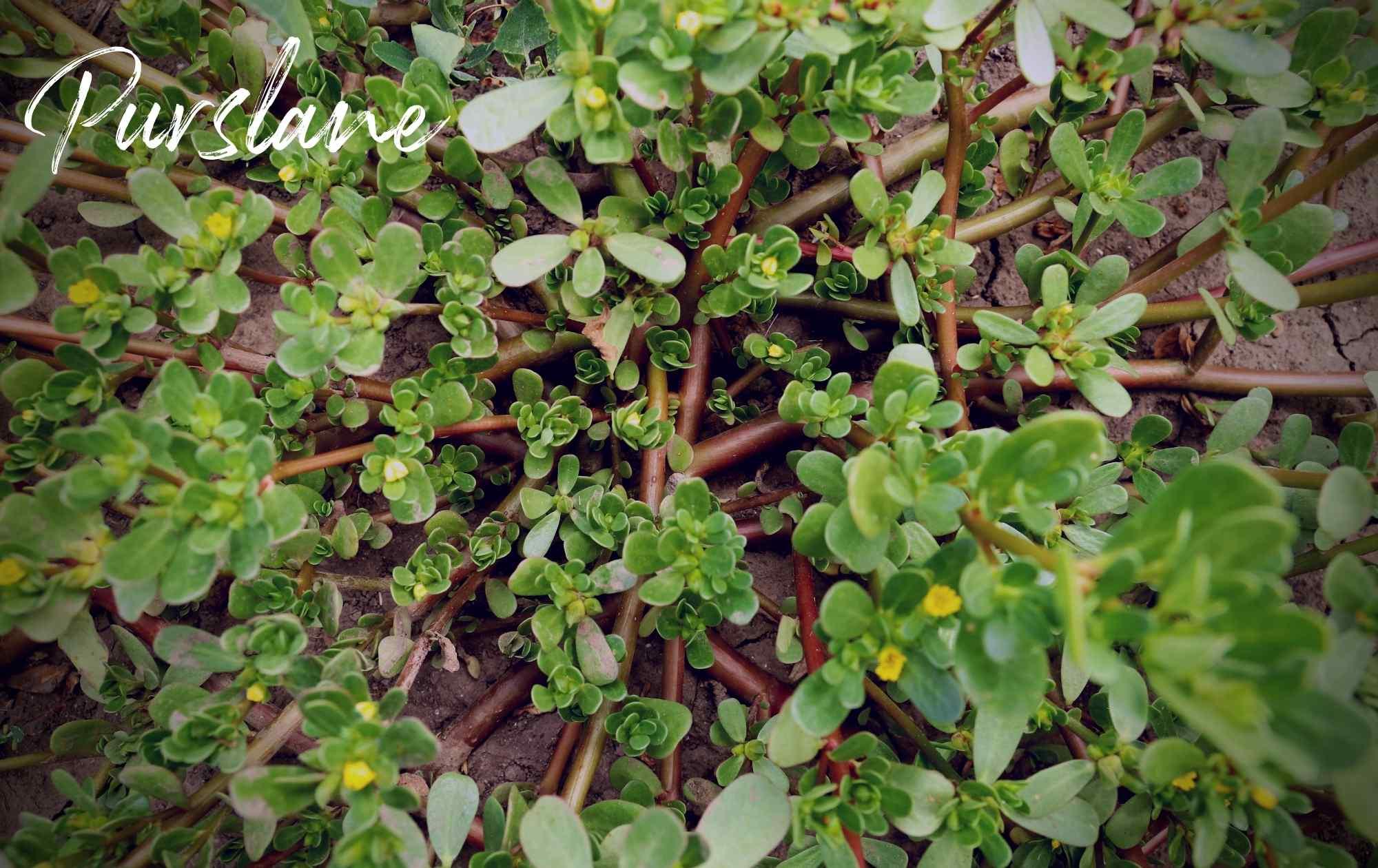 Purslane landscape weed image