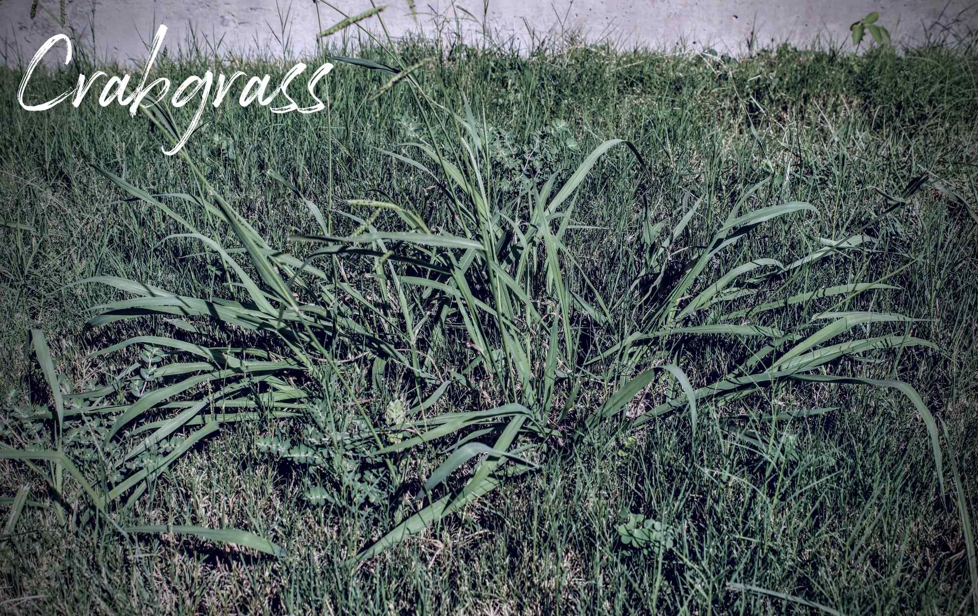Crabgrass Haunting Landscape Weed Image