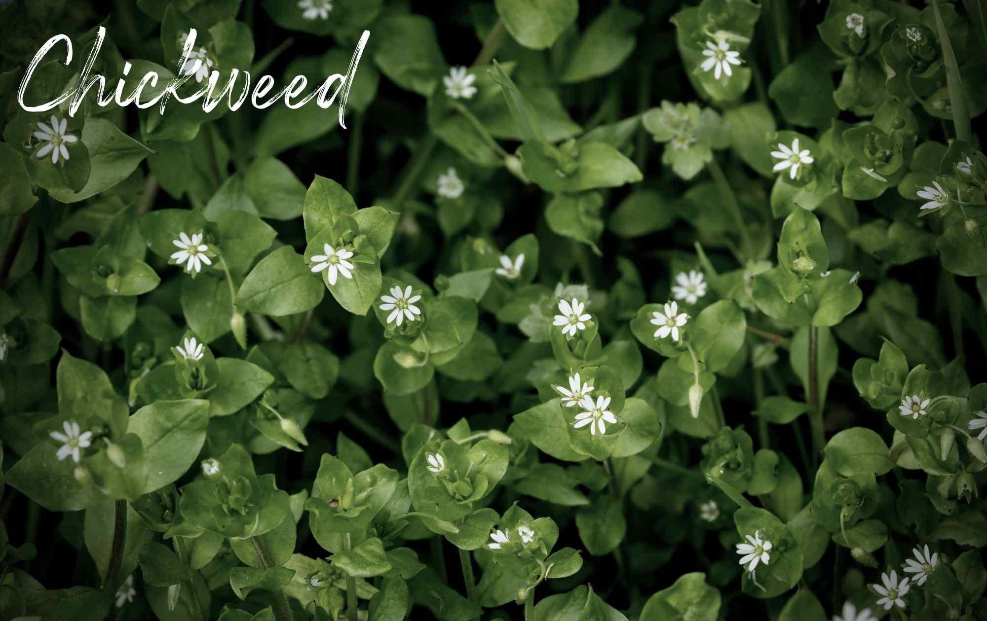 Chickweed landscape weed image