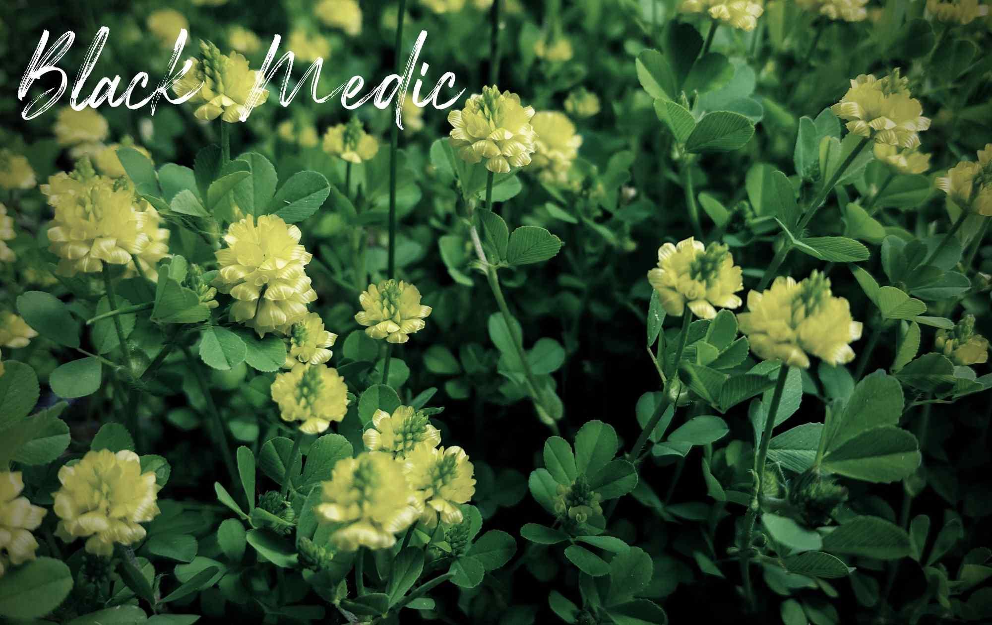 Black Medic Landscape Weed Image