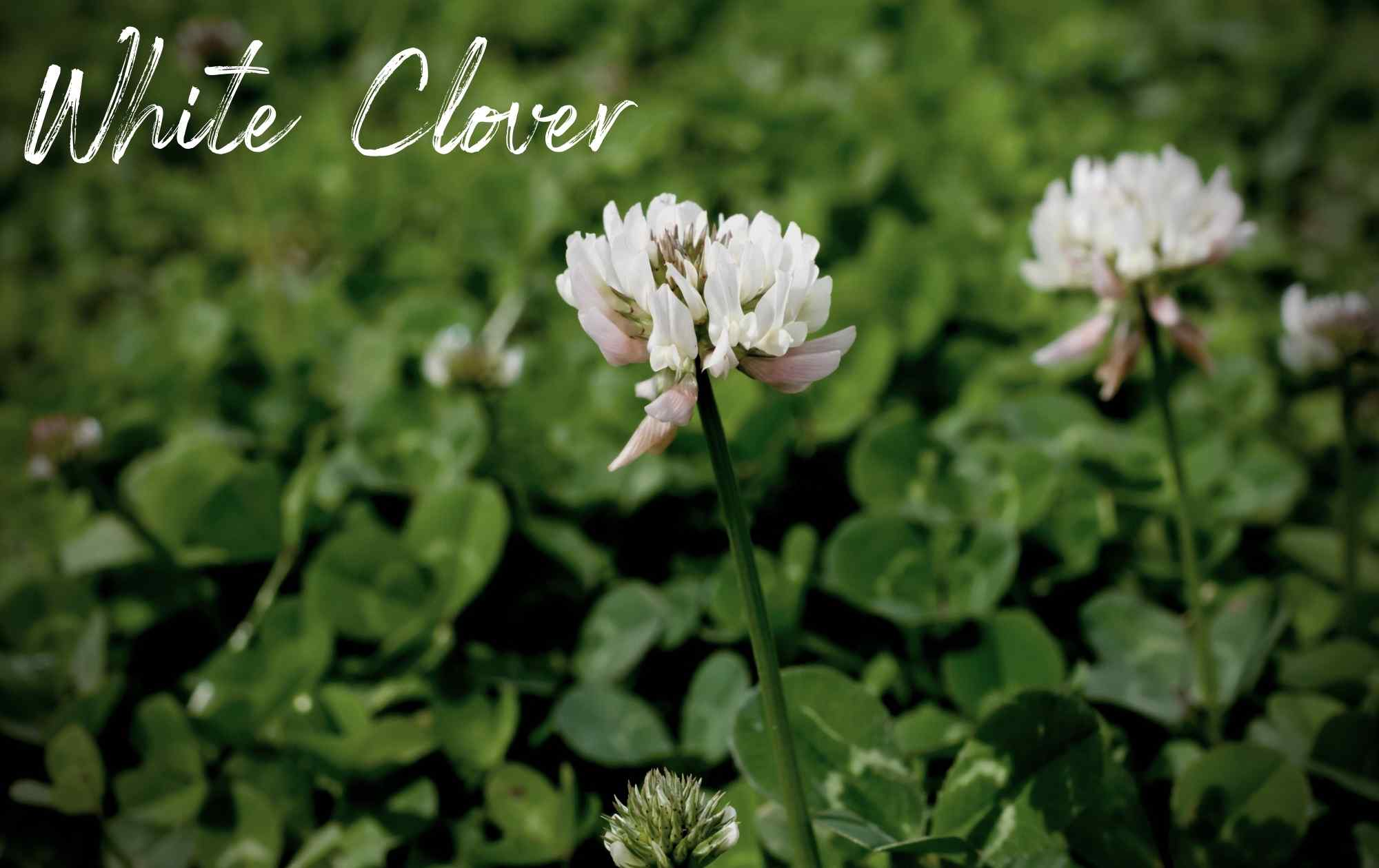White Clover Landscape Weed Image