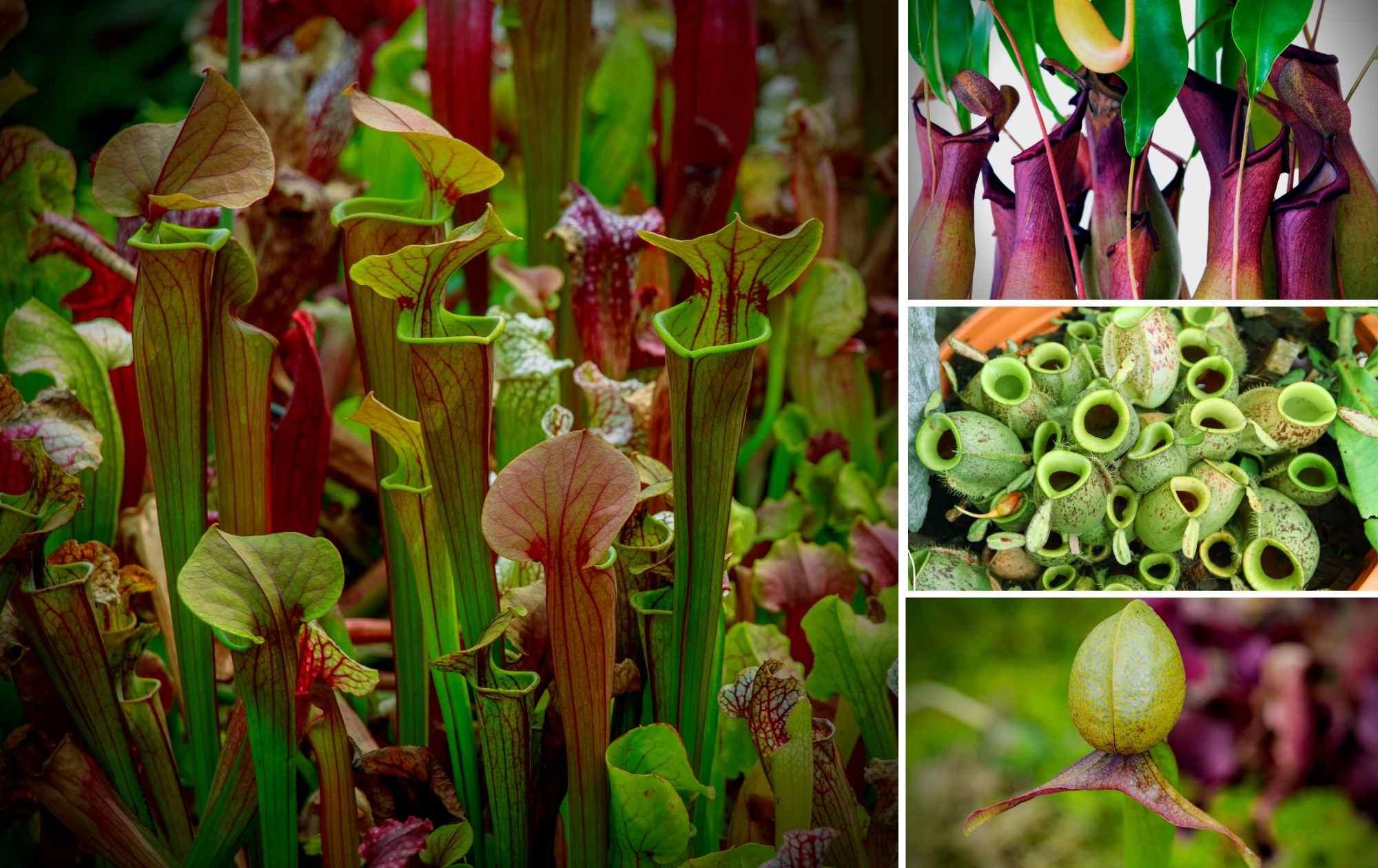 Pitcher Plant Collage Carnivorous Plants