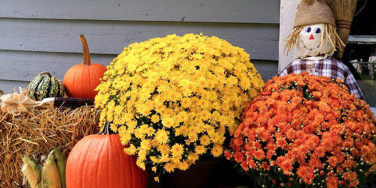 platt-hill-decorate-with-pumpkins-chrysanthemums