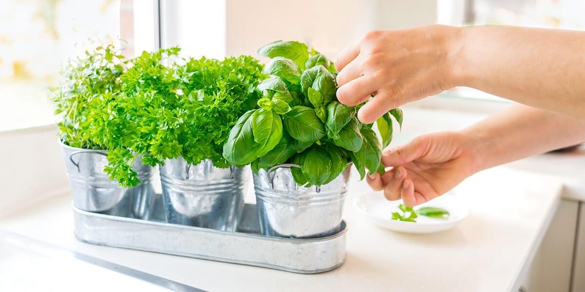 platt-hill-grow-herbs-indoors-basil-parsley-hands
