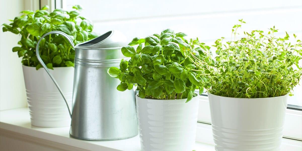 platt-hill-grow-herbs-indoors-basil-windowsill