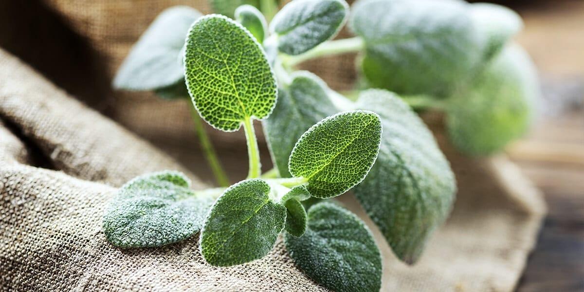 platt-hill-grow-herbs-indoors-sage