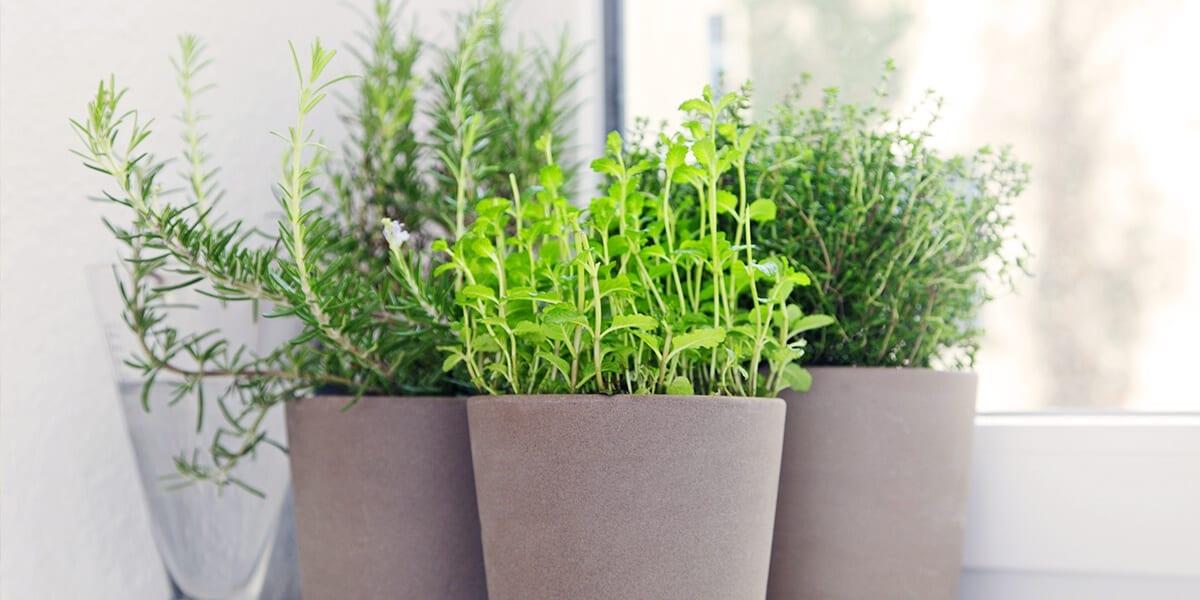 platt-hill-grow-herbs-indoors-thyme-rosemary-window